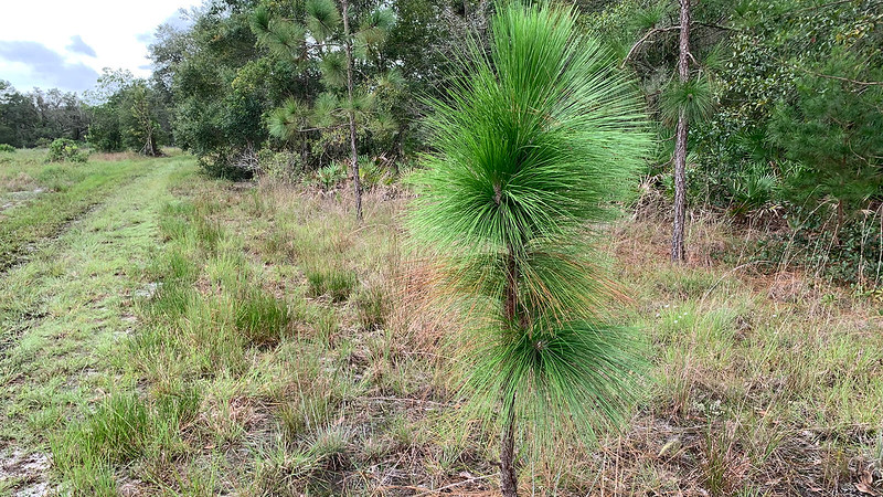 Young longleaf pine adjoins trail