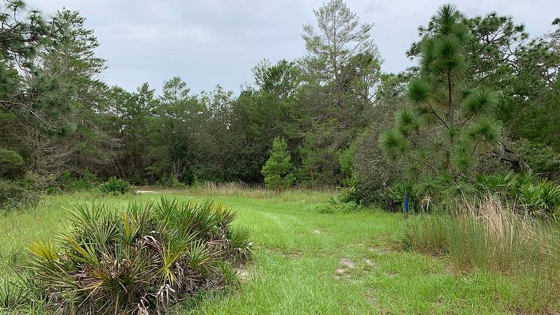 Sand pine scrub along grassy trail