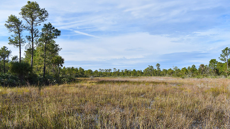 Marsh surrounded by pine forest