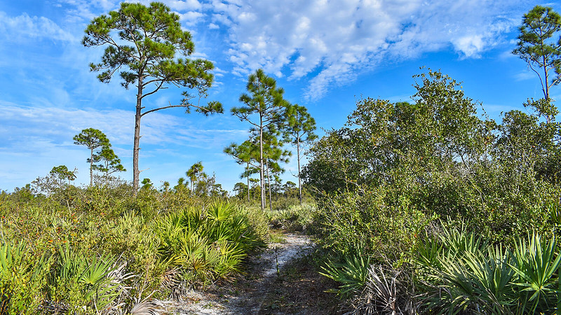 Scrub habitat with tall pines and palmetto