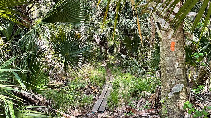 Walkway through dense palms
