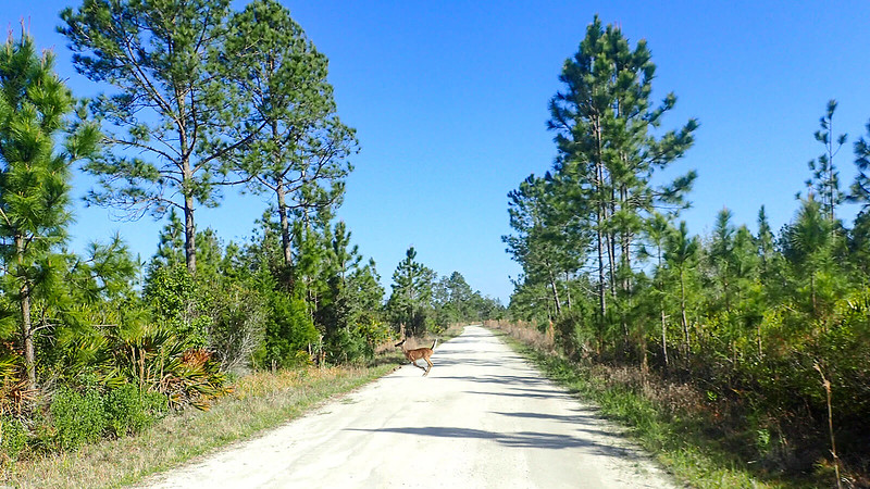 Deer leaping across dirt road