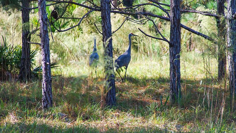 Sandhill cranes in pine forest