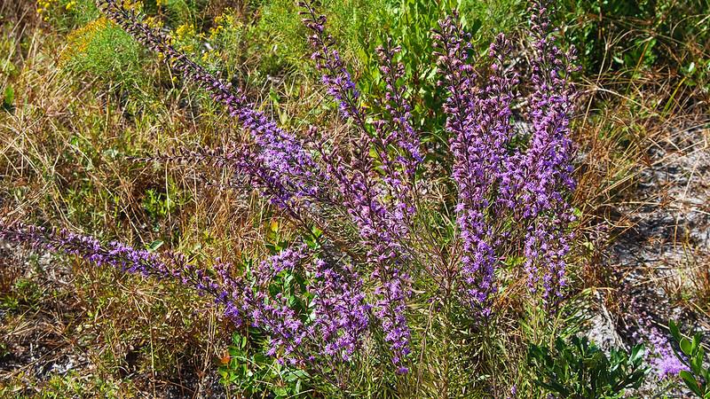 Feathery purple blooms