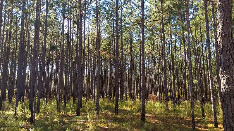 Tightly packed pines in forest