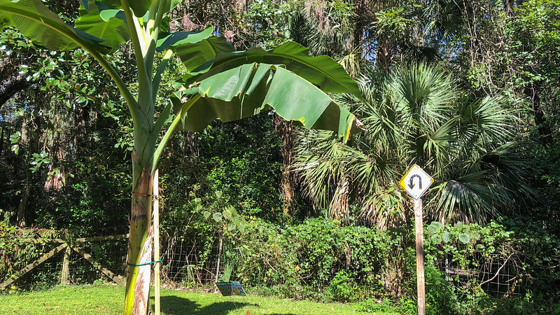 Banana tree and U turn sign