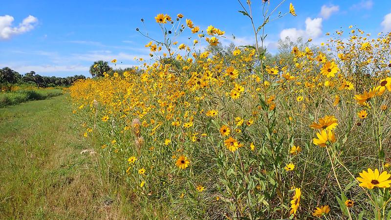 Sunflowers along mowed trail