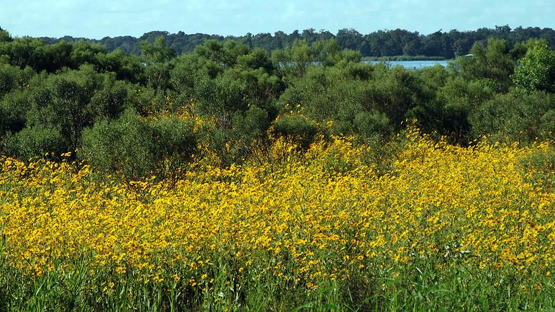 Sunflowers at Lake Jesup