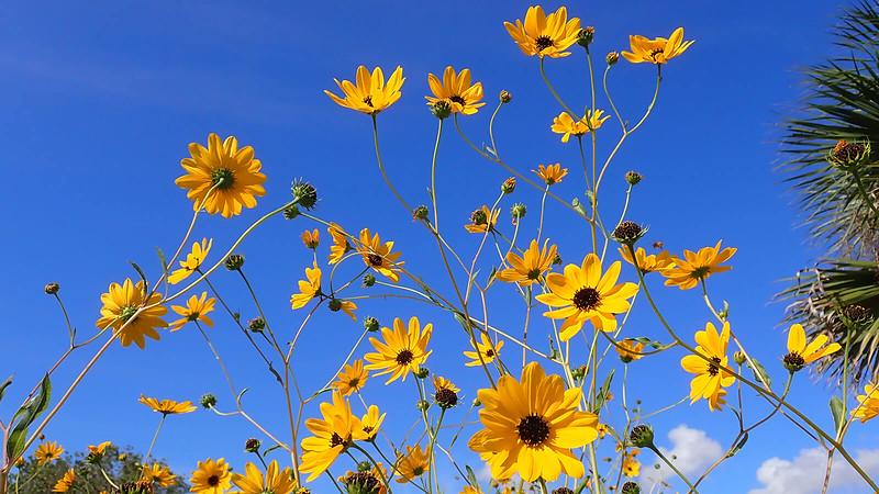Showy sunflowers and blue sky