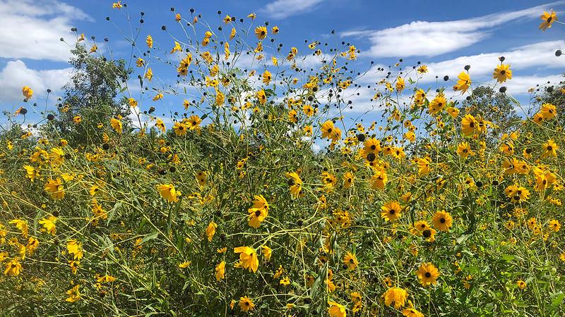 Sunflowers in breeze