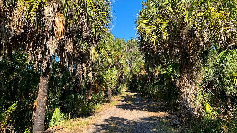 Cabbage palms flanking trail