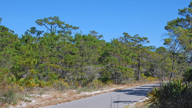Paved trail through pine forest