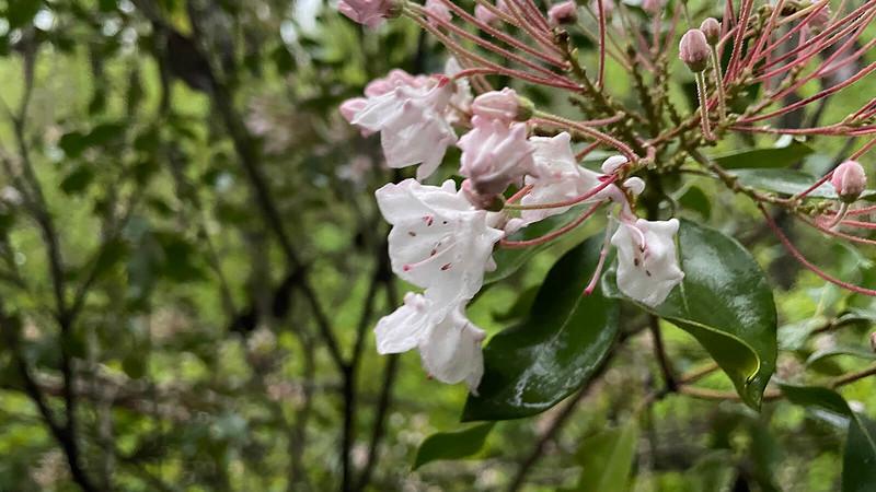 White blooms of mountain laurel