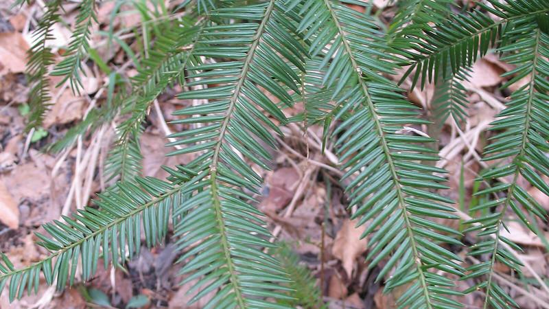 close up of torreya tree needles