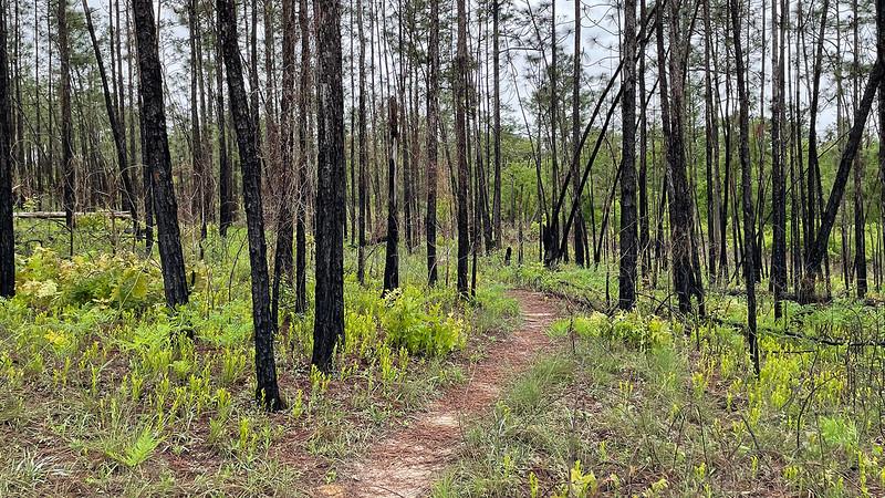 Tall dead tree trunks