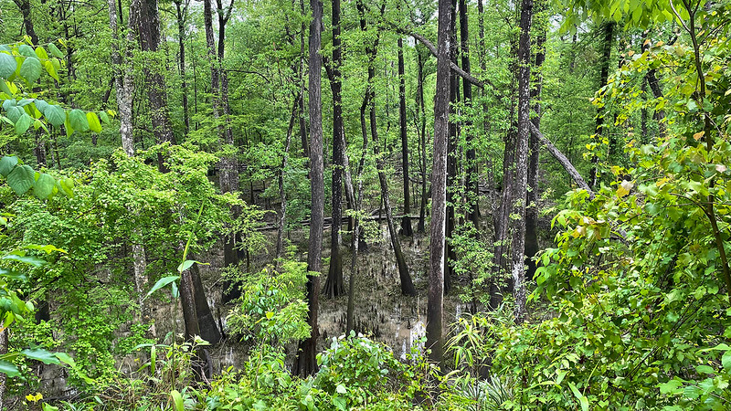 Bottomlands with cypress knees