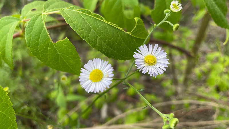 Daisy fleabane with crab spiders