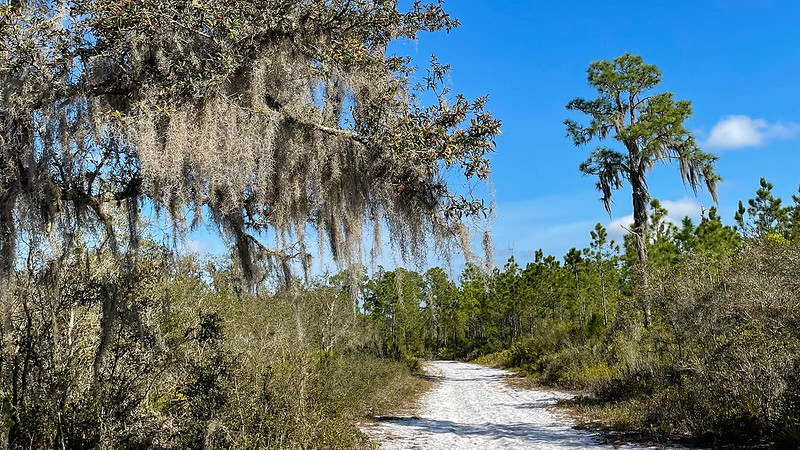 White sand road between oaks and pines