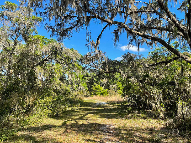 Shade cast on grassy trail by oaks