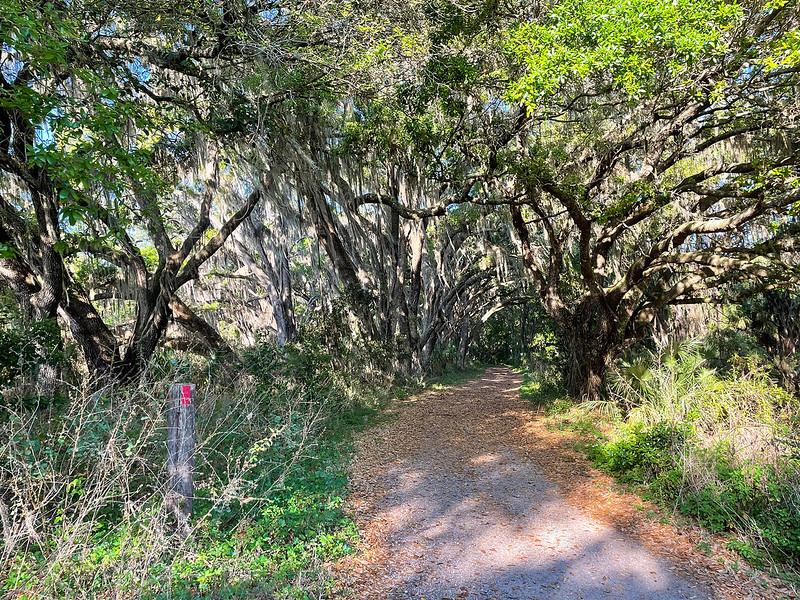 Wide path under moss-draped oaks