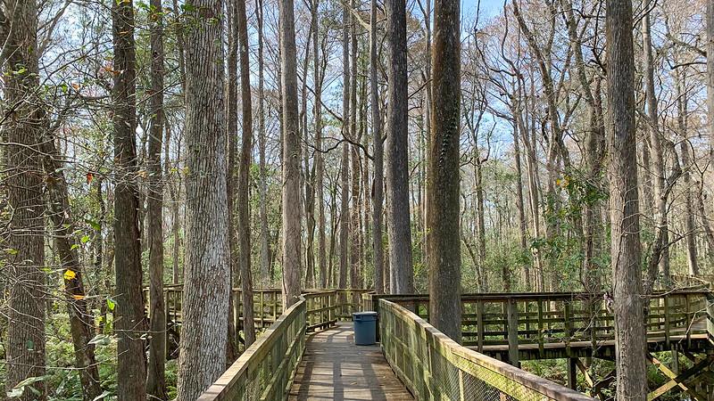 Boardwalk amid cypress trees