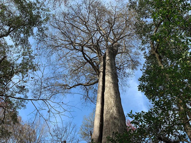 Massive Cypress