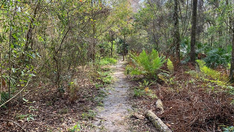 Footpath edged by ferns