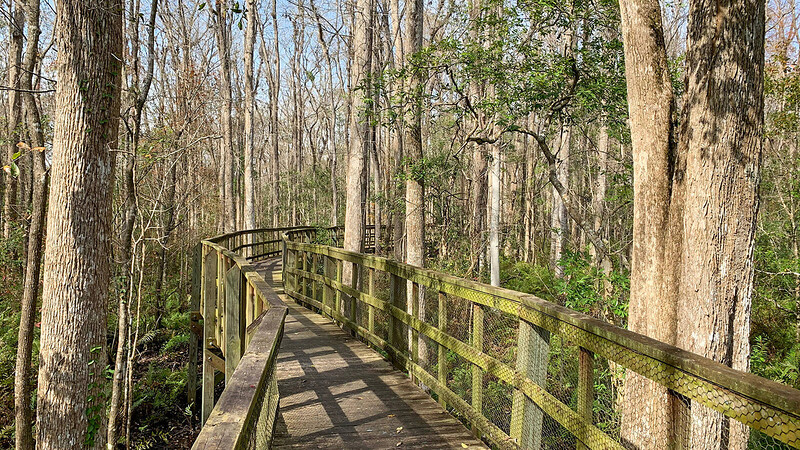 Boardwalk in floodplain swamp