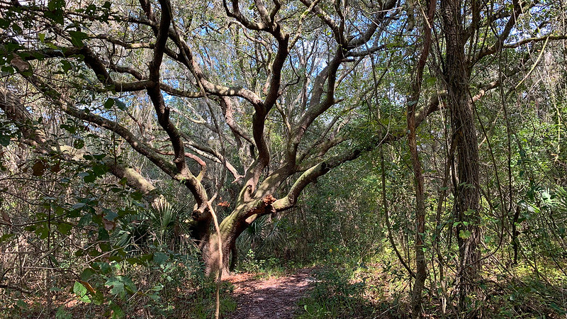 Gnarled oak in the woods