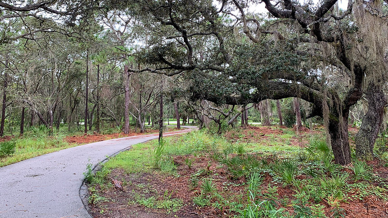 Live oak with gnarled branches