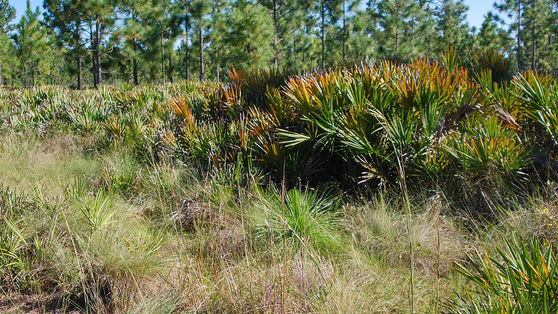 Young longleaf in wiregrass with saw palmetto behind them
