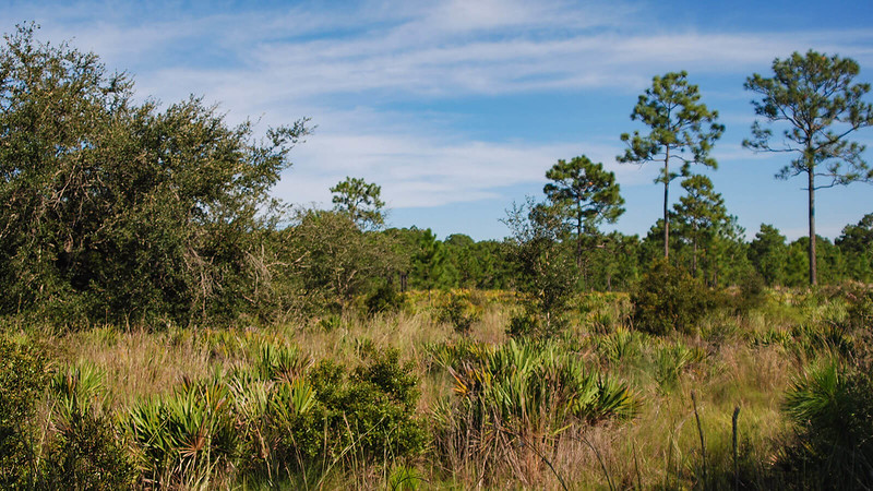 Sand live oaks among pine flatwoods