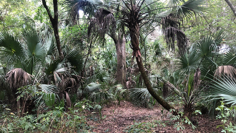 Palms and oaks along trail