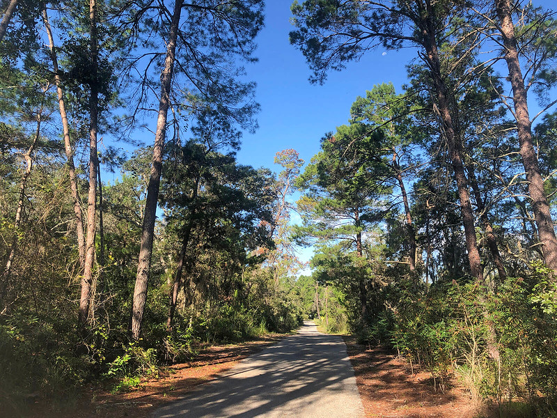 Sand pines shading trail