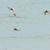 Pelicans Feeding
