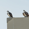 Ospreys on the roof two buildings south.