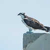 Osprey on the roof two buildings south.