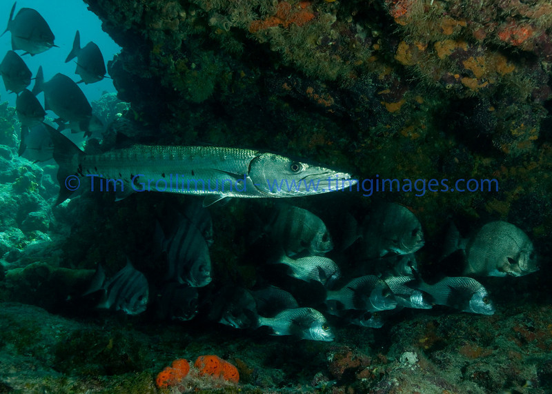 Great Barracuda (Sphyraena barracuda) with Atlantic Spadefish (Chaetodipterus faber) and Black Margates (Anisotremus surinamensis) on Permit ledge in Key Largo