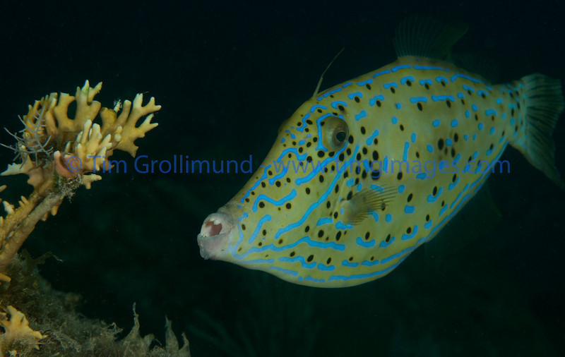 Scrawled filefish (Aluterus scriptus) getting ready to munch on Branching Fire Coral (Aluterus scriptus) on the Benwood wreck, Key Largo