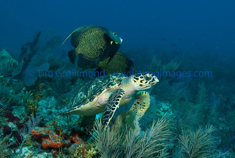 French Angels (Pomacanthus paru) with Hawksbill (Eretmochelys imbriocota) in Key Largo