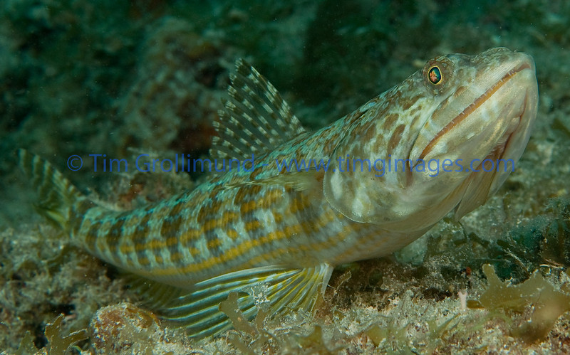 Sand diver (Synodus intermedius) on the Benwood wreck, Key Largo