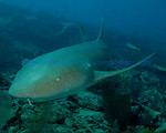 Nurse Shark (Ginglymostoma cirratum) on the City of Washington, Key Largo