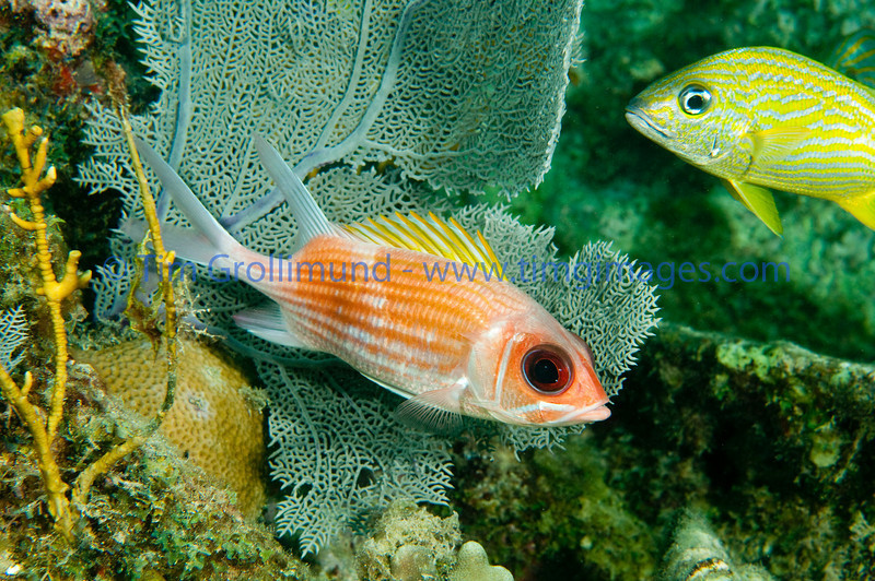 Squirrelfish (Holocentrus adscensionis) on the Benwood wreck in Key Largo