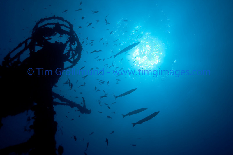 Great Barracuda (Aphyraena barracuds) hovering on the Duane wreck, Key Largo