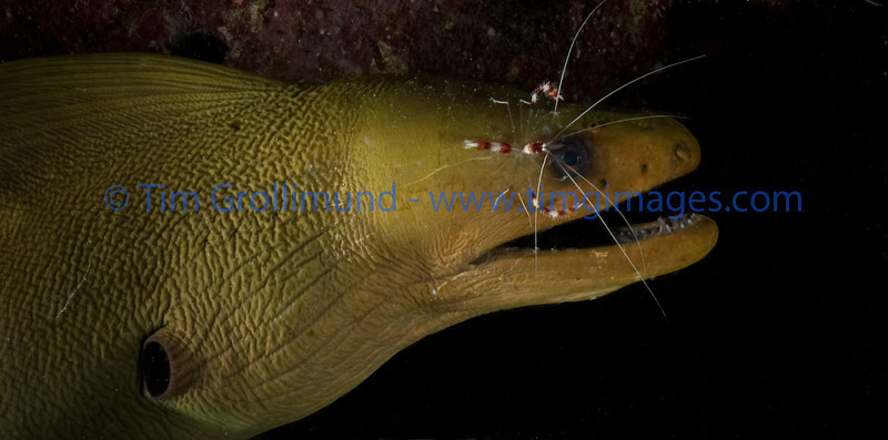 Green Moray (Gymnothorax funebris) with Banded Coral Shrimp (Stenopus hispidus)