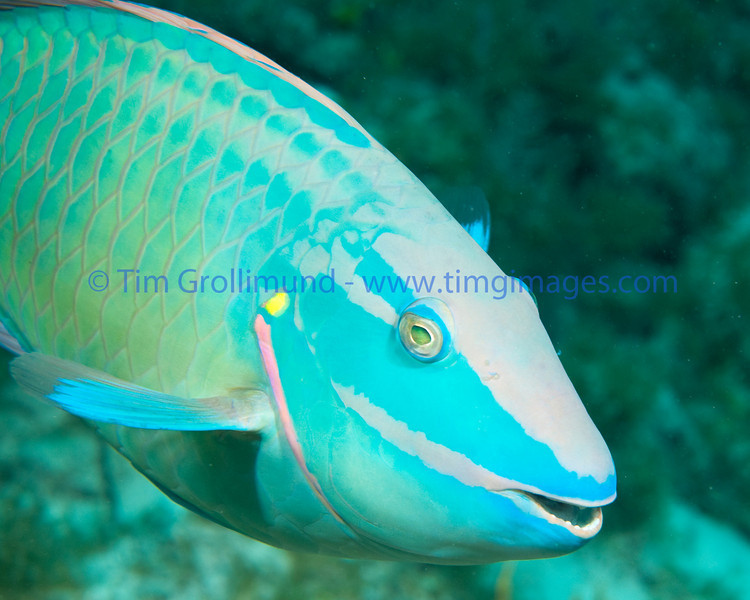 Stoplight Parrotfish (Sparisoma viride) terminal male, Key Largo