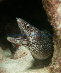 Spotted Moray (Gymnothorax moringa)
