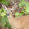Endangered Key Deer - Smallest North American Deer