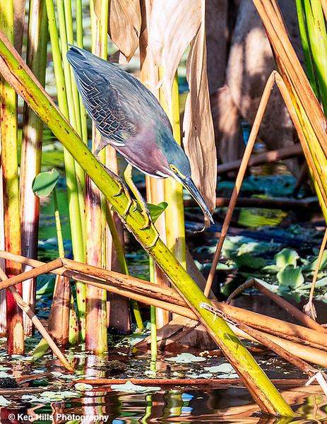 Green Heron. Celery Fields Preserve.
