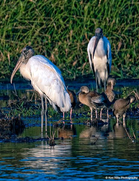 Wood Storks, Ducks at Myakka River State Park.
